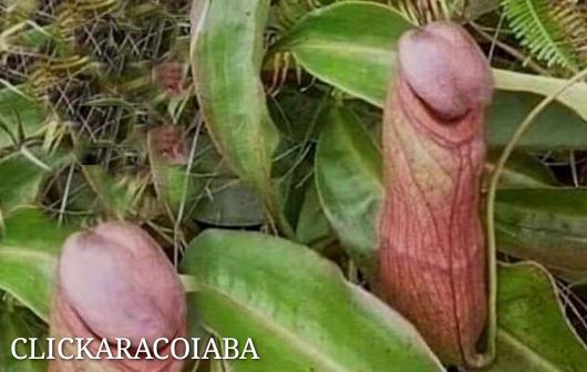 """""""Planta-pênis"""" carnívora pode crescer até 30 cm e é nativa do Camboja."""